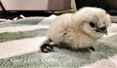 silkie, chicken, curled, toes, fix, chick, towel