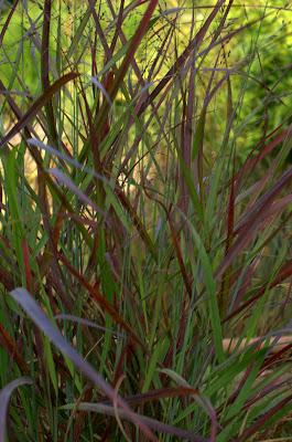 Panicum virgatum 'Ruby Ribbons'