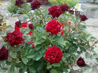 1 giống hoa hồng mới có mặt tại hội thi