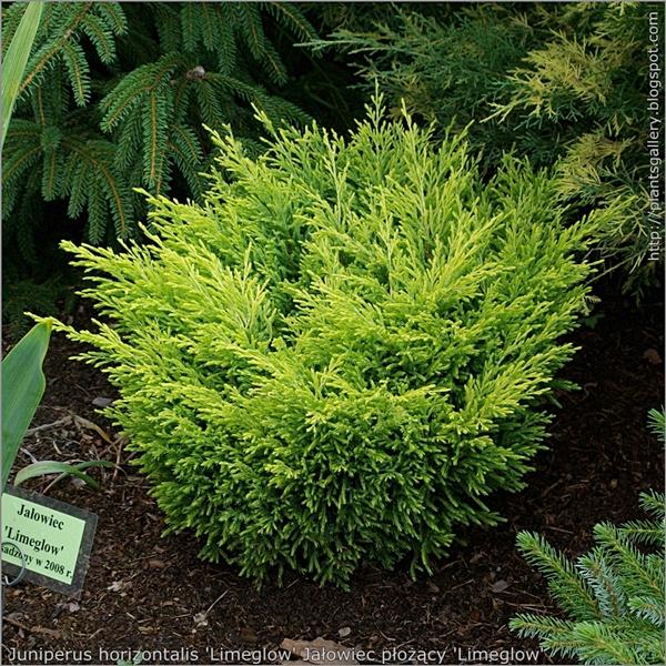 Juniperus horizontalis 'Limeglow' habit - Jałowiec płożący pokrój
