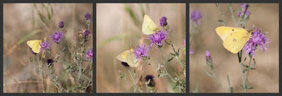 collage of clouded sulphur butterflies on spotted knapweed flowers