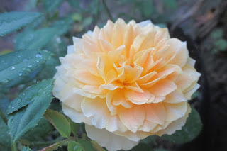 Hoa hồng Molineux nở hoa bói tại vườn Vân Loan, Sa Đéc