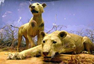 Os verdeiros leões de Tsavo