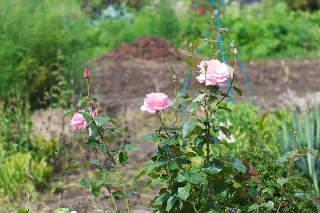 美容室敷地内のバラ