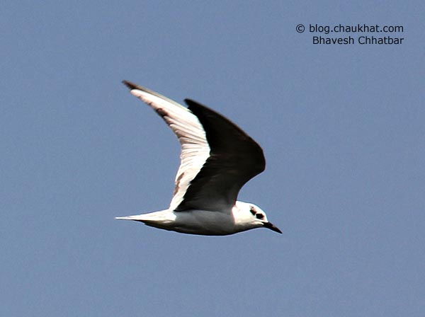 Black-headed Gull [Binomial/Scientific name: Chroicocephalus ridibundus] [Synonym: Larus ridibundus] in non-breeding plumage