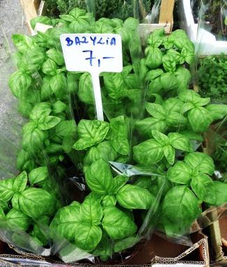 Bazylia pospolita Ocimum basilicum