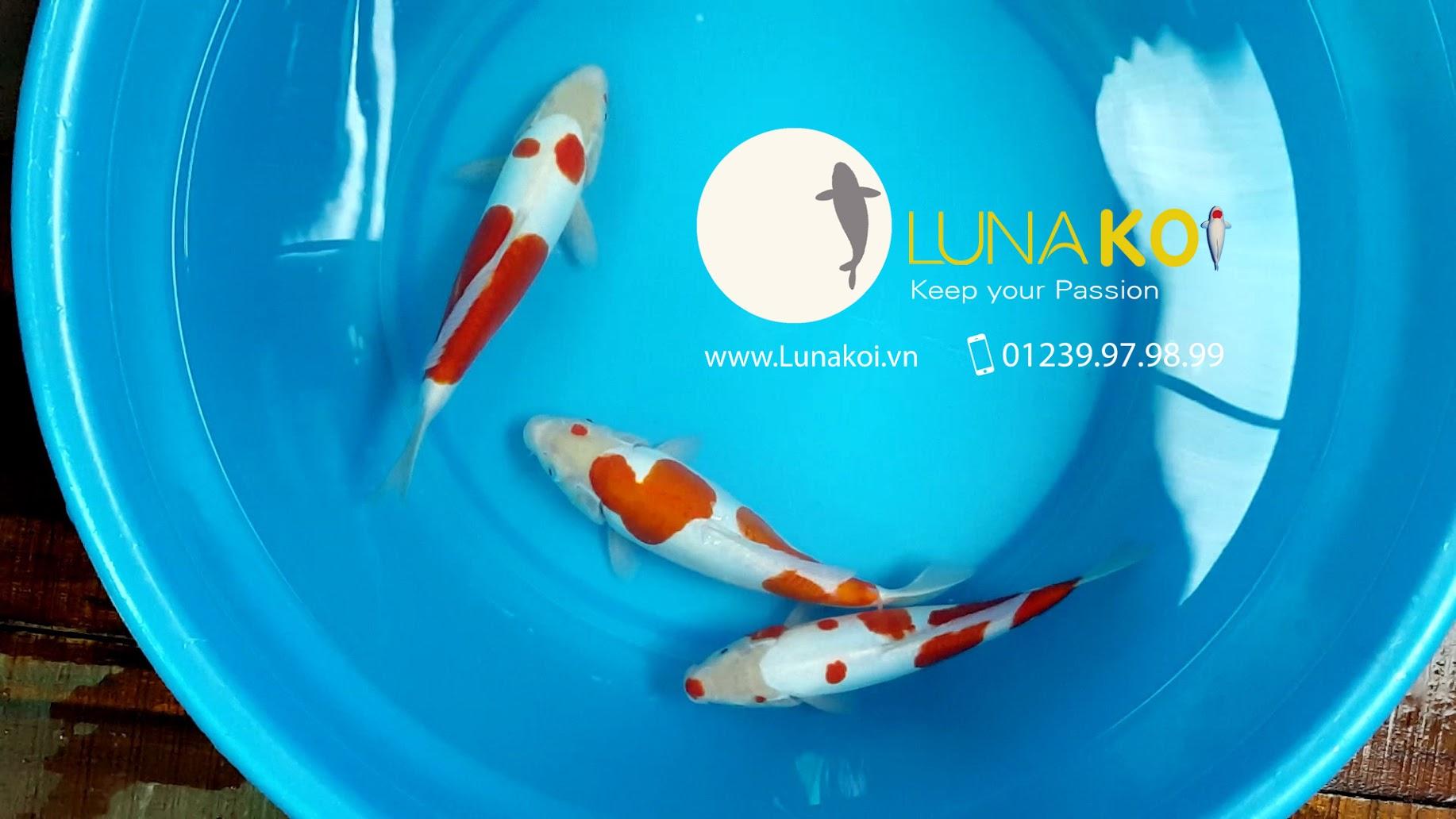 cá koi trắng đỏ da trơn