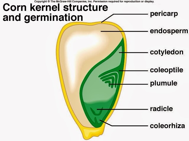 they grow up so fast! seed structure Wheat Diagram seed structure