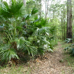 Large clump of Cabbage Palm (Livistona Australis) on the north side of Palm Grove NR (369739)