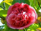 紫を帯びた紅色 八重〜唐子咲き 中輪