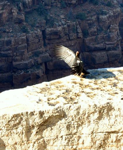 tańczący kondor w Wielkim Kanionie Kolorado