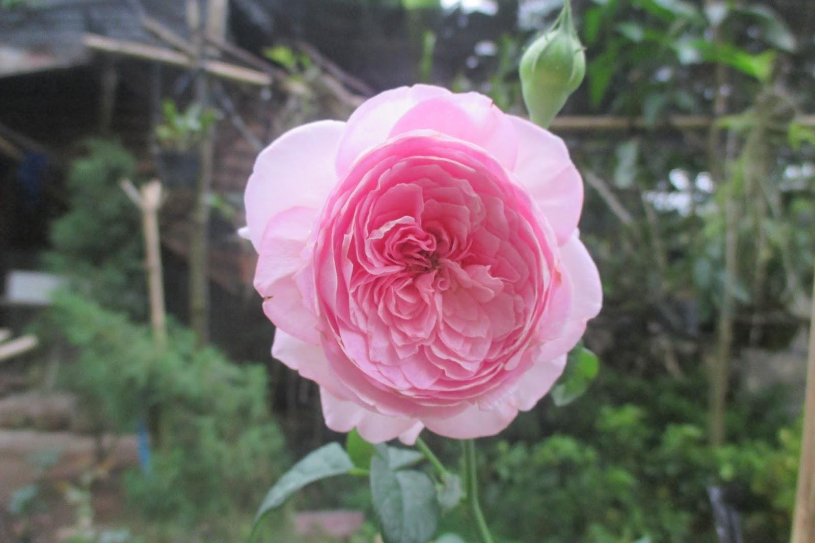 Hoa hồng Mon Coeur (Hồng leo Tuyết Hồng) - Vườn Vân Loan