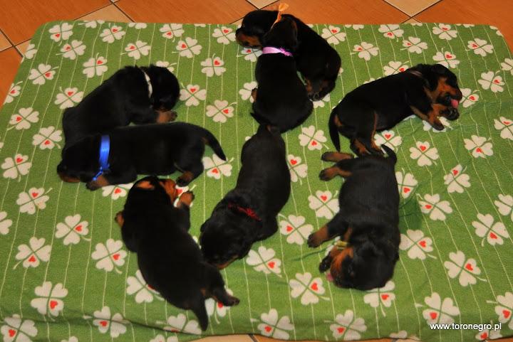 Miot B w hodowli psów użytkowych Toro Negro