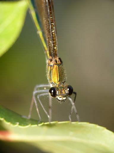 Petite serie de libellules et de de demoiselles! P1130236