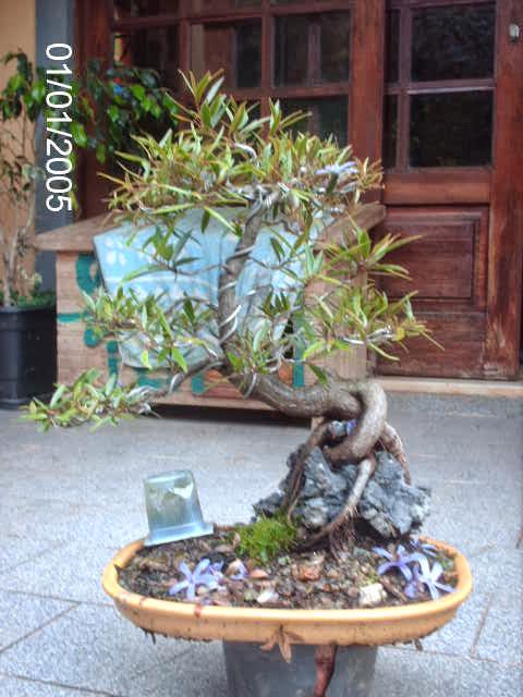 Ficus Nerifolia, Uma raiz de 3 anos... - Página 2 PICT2436