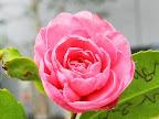 濃桃色 牡丹咲き 小輪