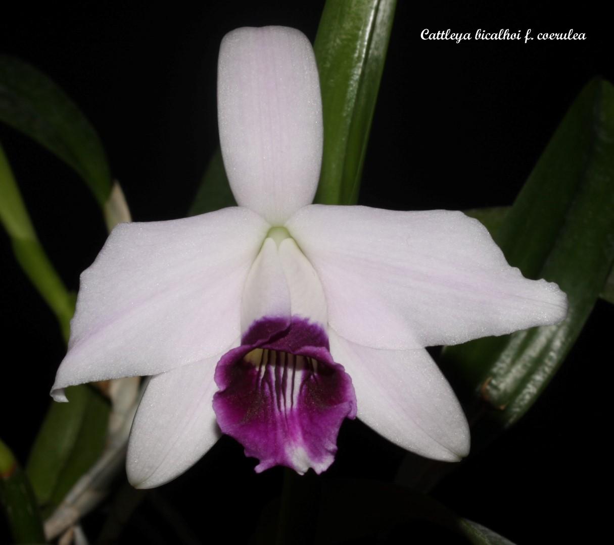 Cattleya bicalhoi f. coerulea  IMG_6555b%252520%252528Large%252529