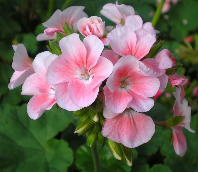 Nét đẹp của hoa phong lữ thảo