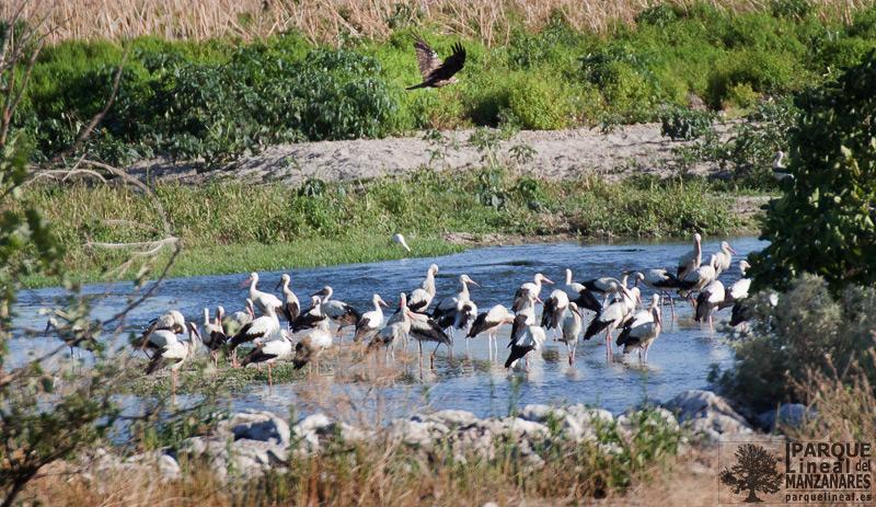 vida natural en el río Manzanares