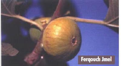 أنواع التين  الأصيلة بالمغرب FERKOUCH%2520JMEL