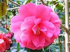 桃紅色 八重〜牡丹咲き 極大輪