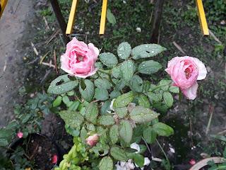 Hình dáng lá hồng Carey, cây có lá chét 5, lá bầu tròn xanh bóng