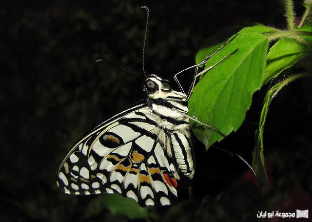 اجمل ملكة جمال الحشرات ؟؟؟؟ D%2520%252810%2529