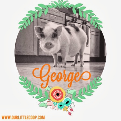potbelly pig, george, pig, miniature, pet, Pot-bellied Pig