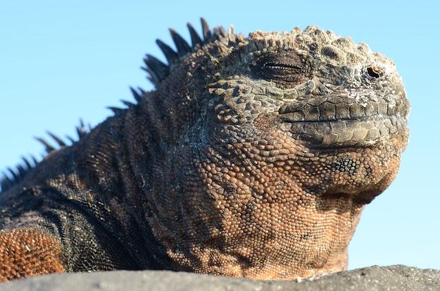 Iguana en San Cristobal