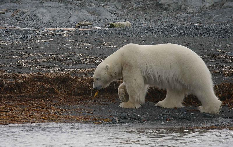Urso pardo vs Urso polar - Página 2 75705847.6lmSPLlY.polarbearonland12OZ9W5856