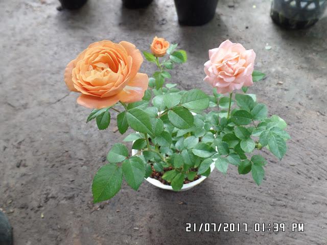 Form hồng Tezza màu cam hơi khum lại có nét giống với hồng Honey Caramel rose.