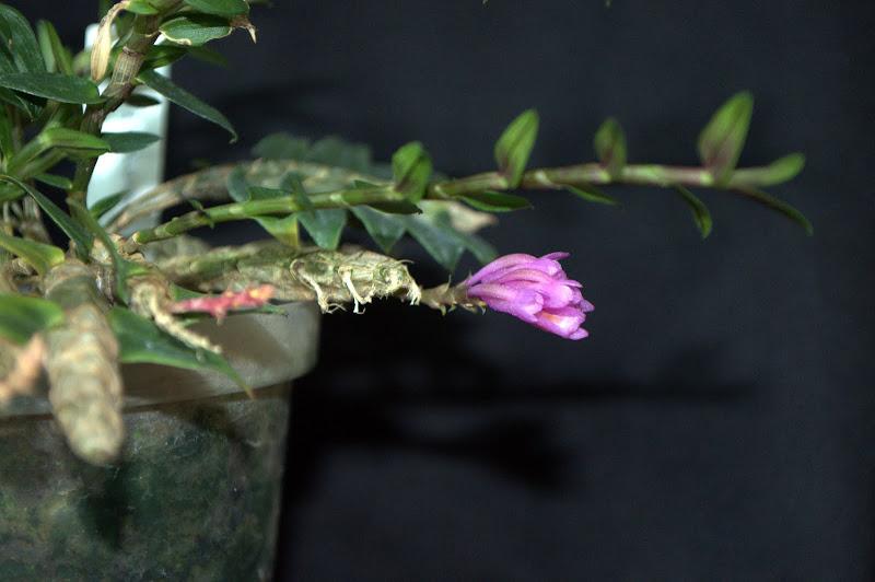 Dendrobium limpidum DSC_0003