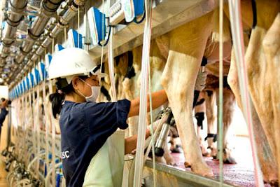 Đơn hàng chăn nuôi bò sữa cần 3 nữ thực tập sinh làm việc tại Aichi Nhật Bản tháng 06/2016