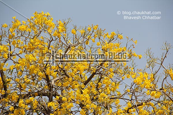 Yellow hued flowers on a tree near birla temple [Jaipur]