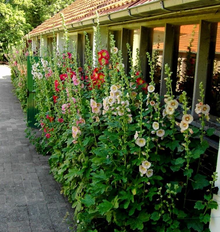 Stokrozen-Hortensia-Hemerocallis-Bamboe-Dagen