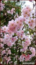 草坪頭玉山觀光茶園-美哉櫻花