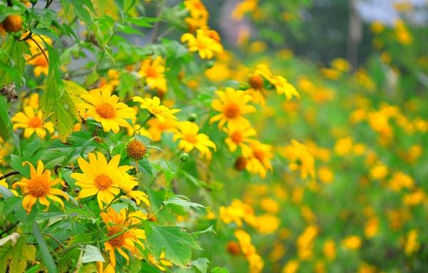hoa cúc quỳ