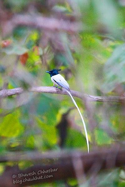 Asian Paradise Flycatcher [Adult Male]