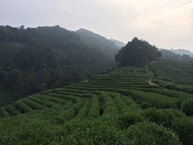 Hangzhou - Longjing tea fields