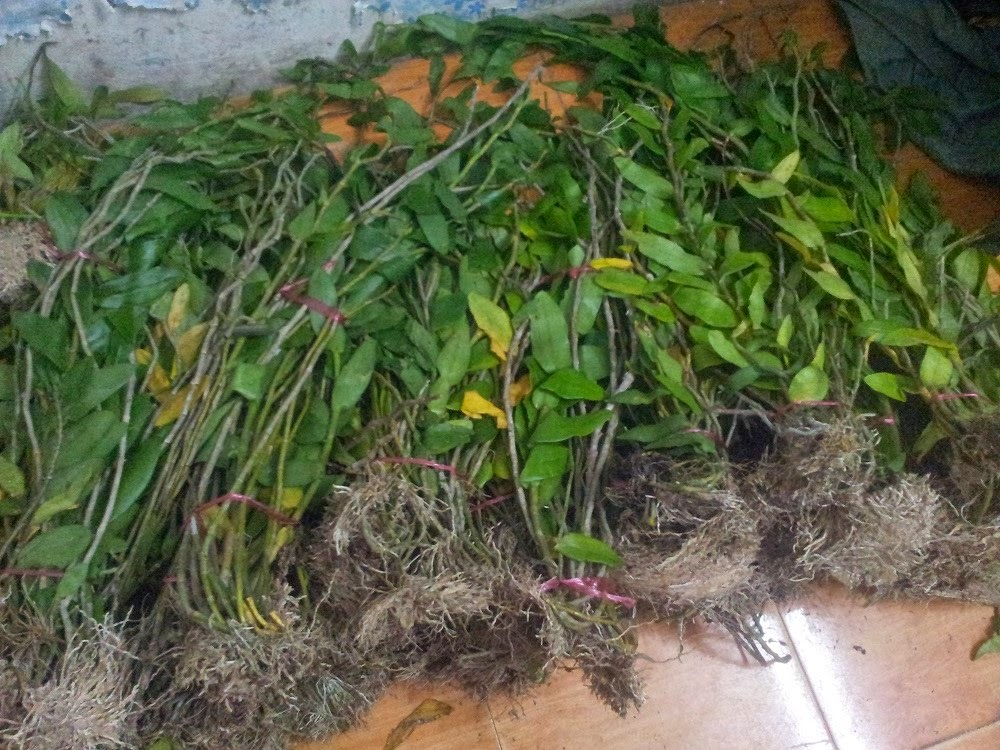 Phi điệp tím là loại lan thân thòng, rụng lá vào cuối thu để chờ ra hoa