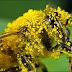 Phấn hoa (phấn ong) lấy từ đâu có công dụng gì và giá bán là bao nhiêu?