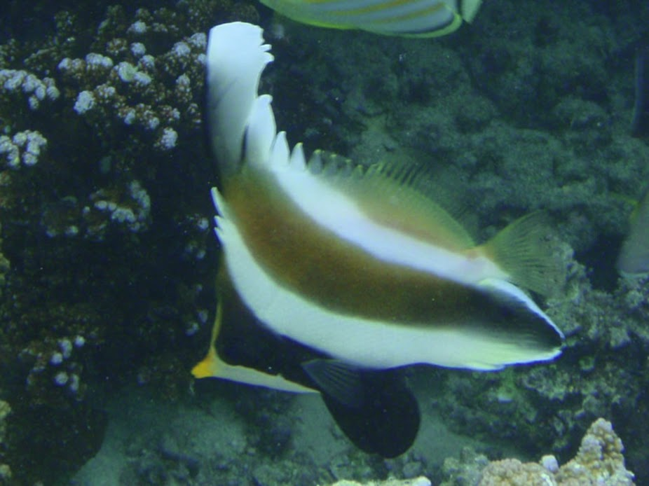 Heniochus chrysostomus (Three-band Pennant Bannerfish), Aitutaki.