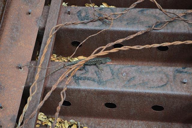 lizard on an iron step
