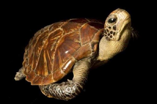 Natural Heritage: Fate of turtles, tortoises affected more by habitat than temperature