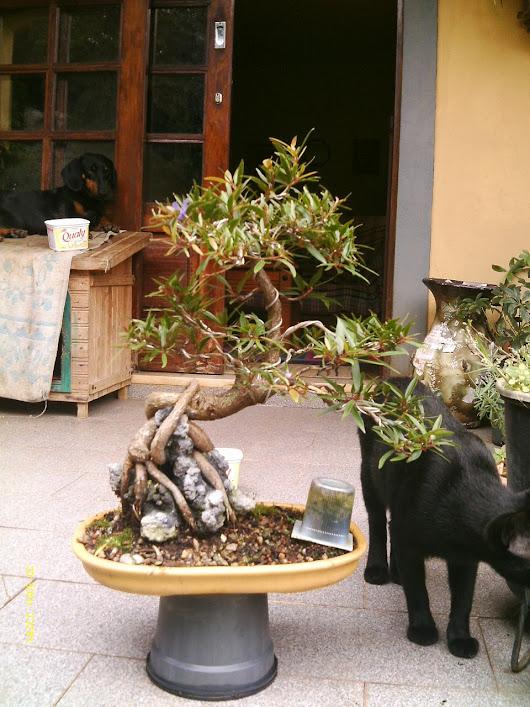 Ficus Nerifolia, Uma raiz de 3 anos... - Página 2 IMAG0203