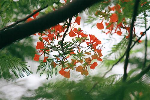 Hoa Phượng mùa Hạ