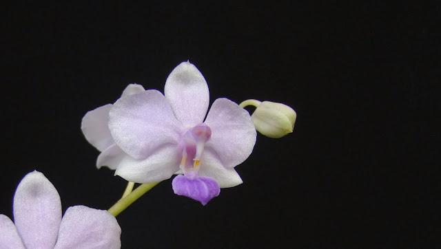 Phalaenopsis Siam Treasure DSC03379