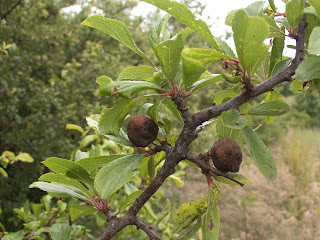 Sloe on Blackthorn (Prunus spinosus) infected with Taphrina pruni