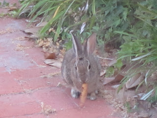 Rabbit eating outside my kitchen window