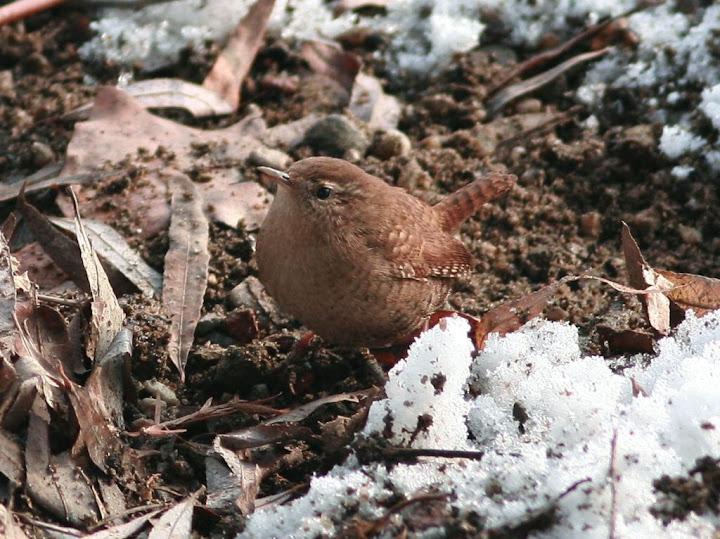 pantarus imparatus troglodytes iarna zapada Herastrau